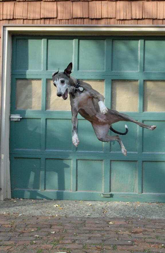 Galgo saltando