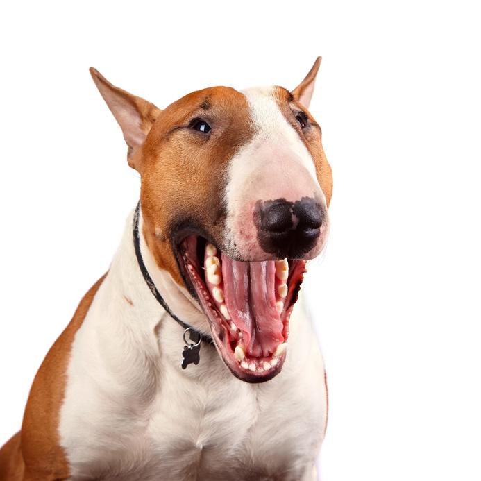 Perros peligrosos en espa a qu razas son - Es malo banar mucho a los perros ...