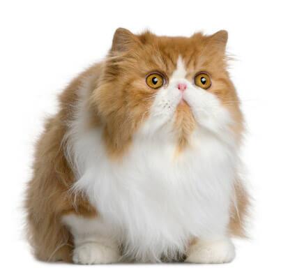Gatos Persas La Guía Definitiva
