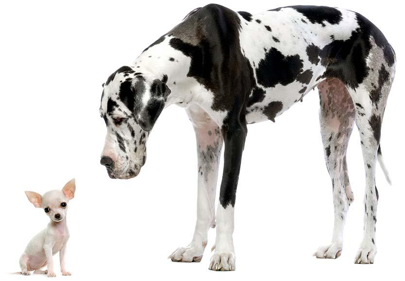 imagen de un perro gigante con chihuahua