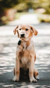 Perro labrador echado