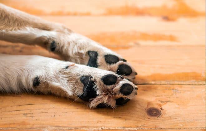 Patas delanteras de un perro tumbadas al suelo