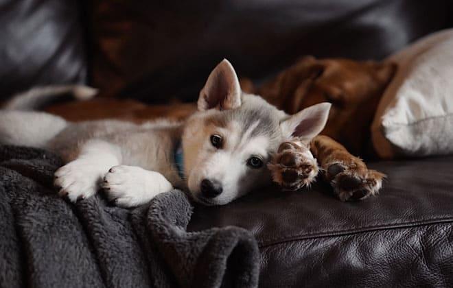 dos perros cachorros tumbados y sofá