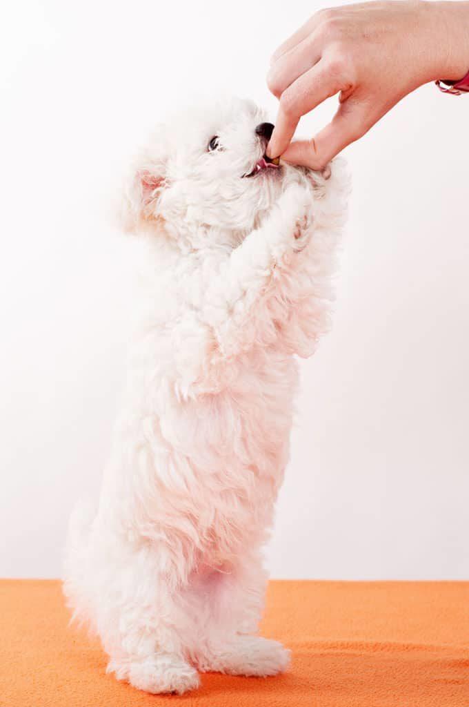 Perro peludo raza mini comiendo de la mano de una persona