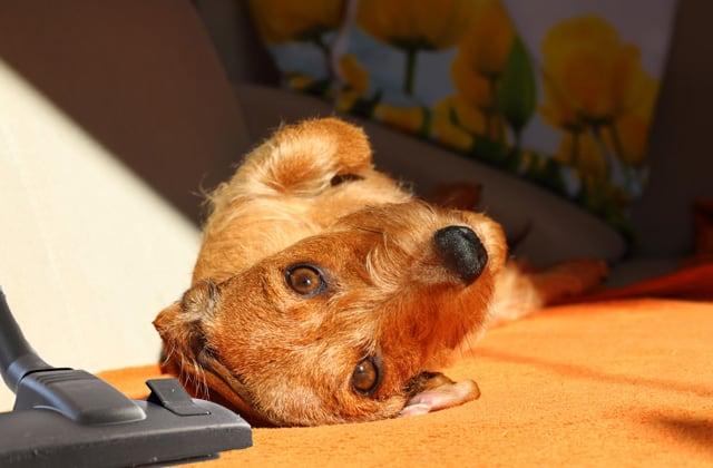 Cabezal de aspiradora, perro y alfombra