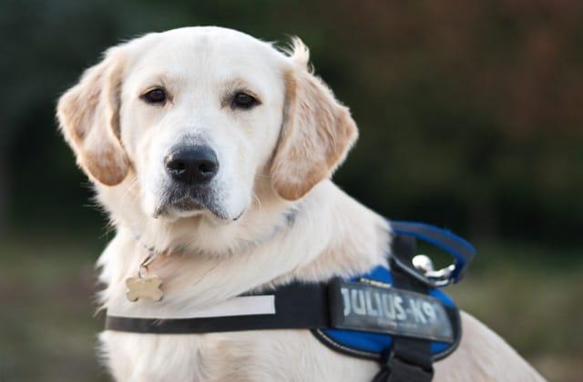 Perro labrador con arnés