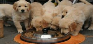 Varios cachorros comiendo de un solo tazón