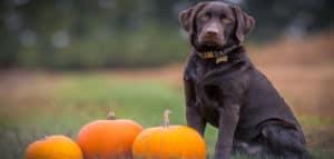 Perro saludable en el campo al lado de unas calabazas
