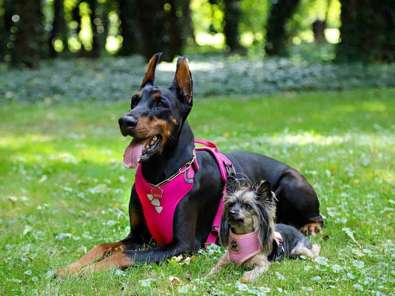 Perro grande y perro pequeño con arnés y parque