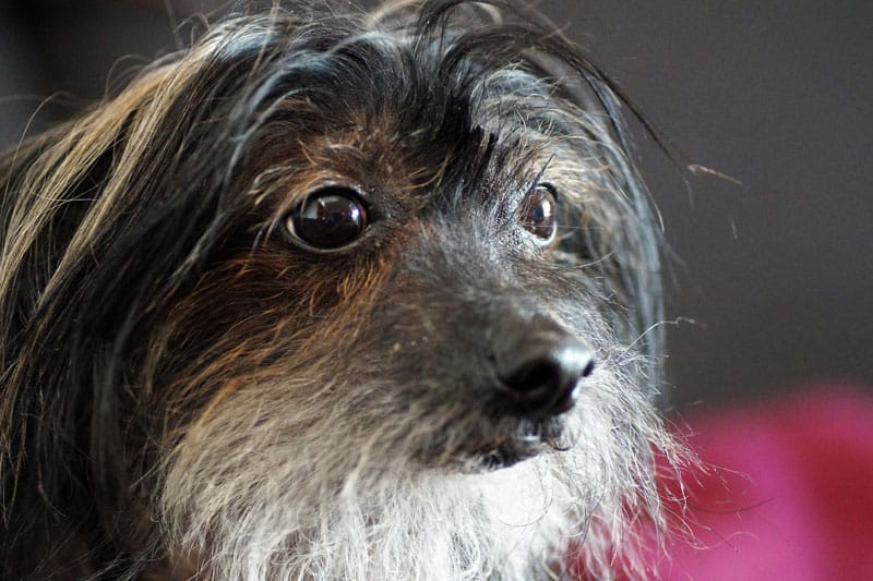 Perro raza crestado chino