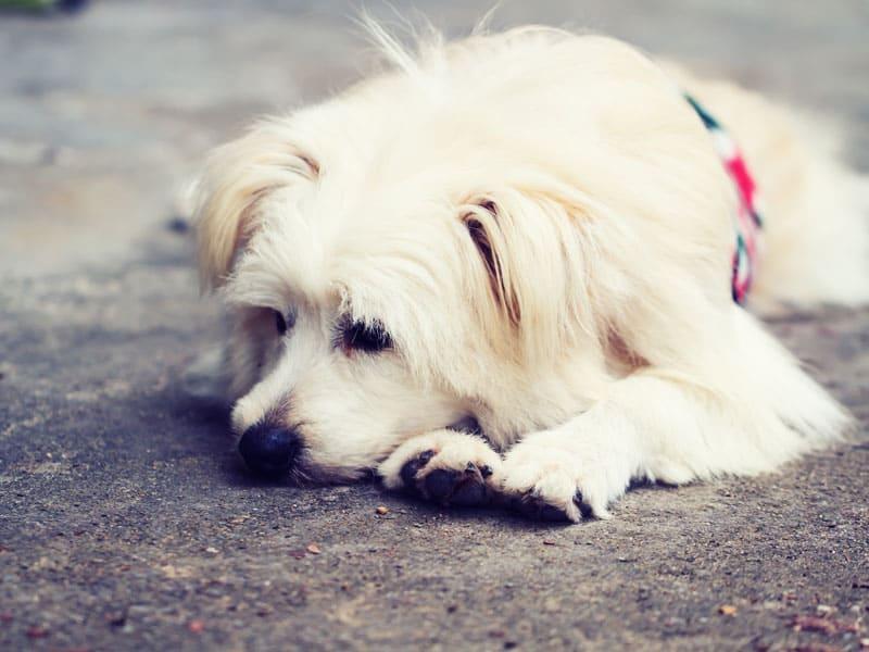 Perro desanimado tumbado al suelo