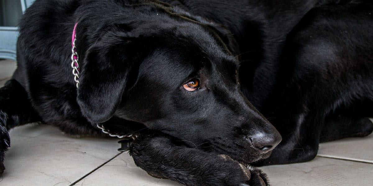 Perro echado con semblante triste